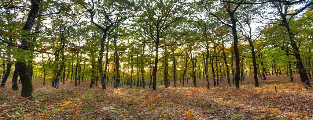 forest of foloi